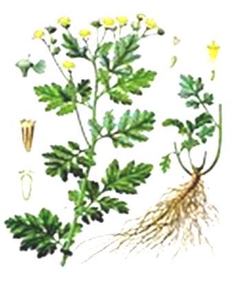 grande-camomille-plante